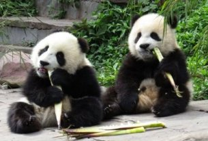 pandas-bamboo-eating